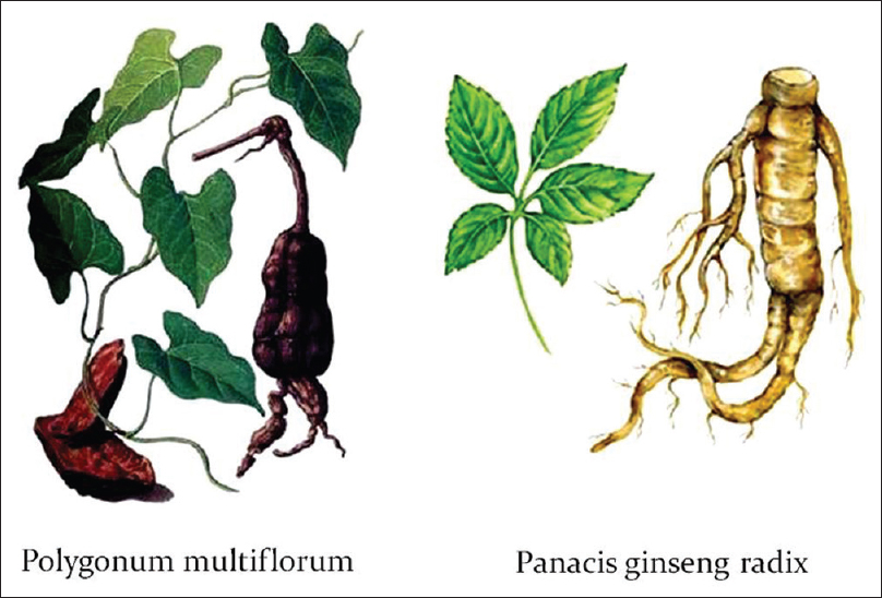 "Figure 3: Traditional Chinese herbal remedies with alleged anti-aging properties: Polygonum multiflorum or ""Ho Shou Wu,"" literally meaning ""Mr. Ho's hair is black"" (left), and Panacis ginseng radix praised for its anthropomorphic form (right)"